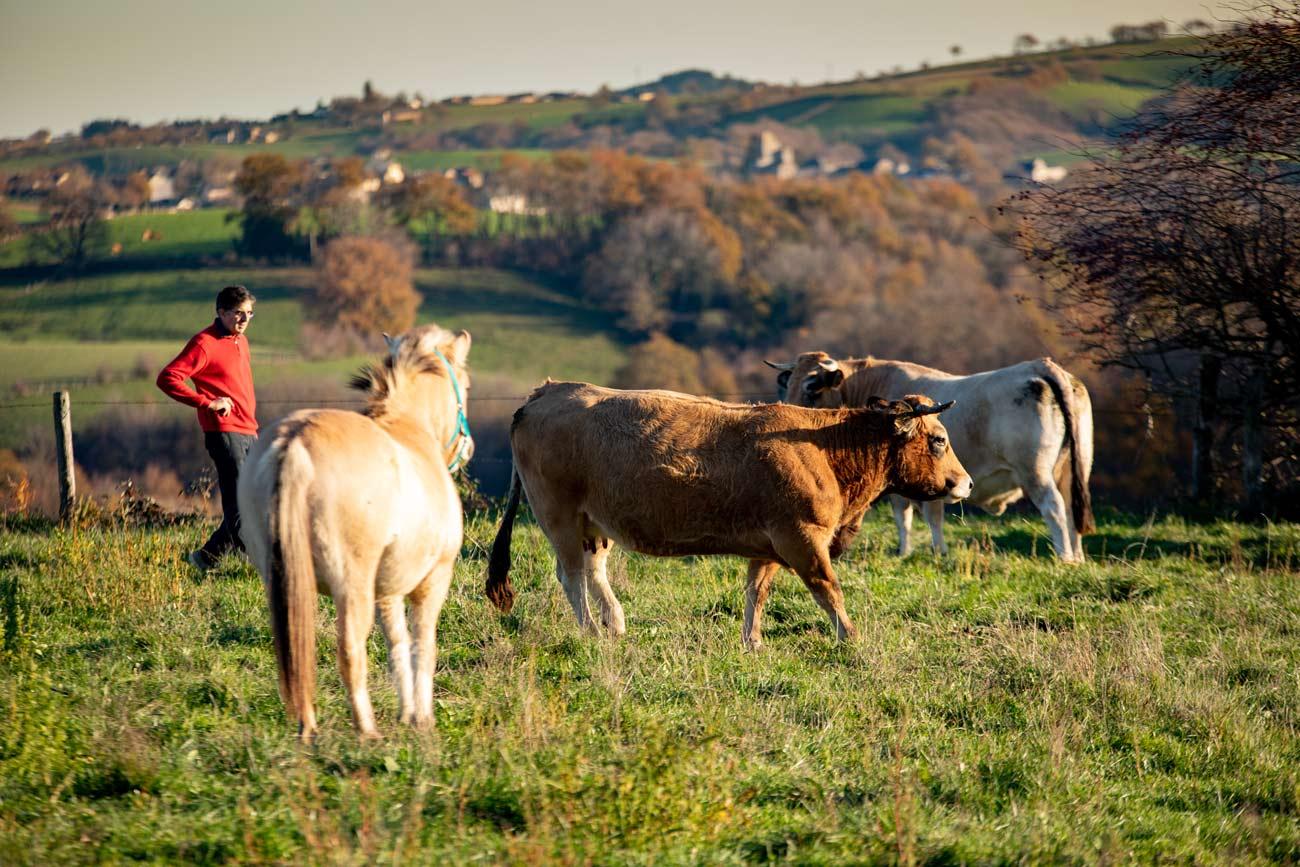 Élevage boeuf Aubrac à Astanet près de rodez dans l'Aveyron