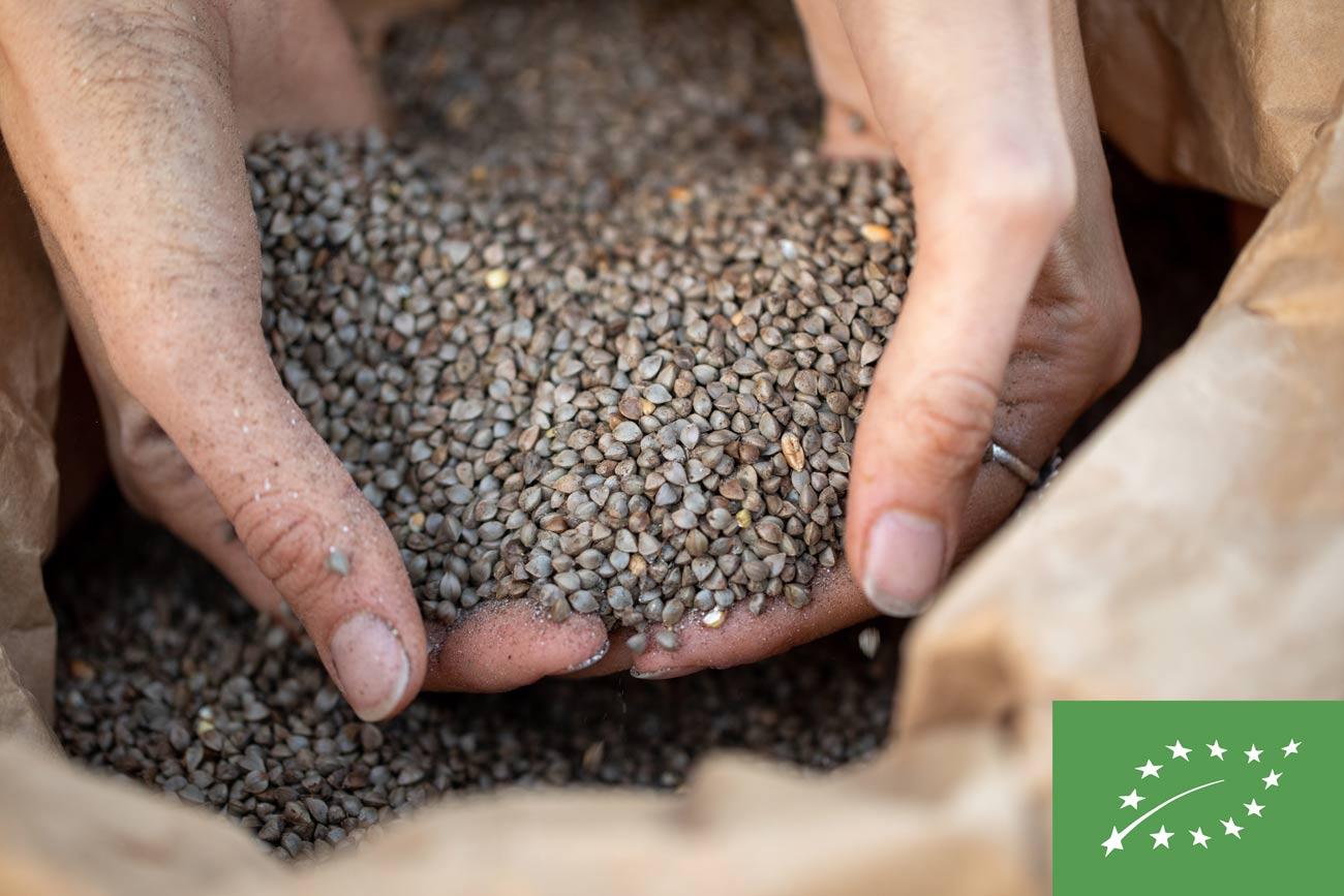 Graines de sarrasin bio récoltées à la ferme pour produire de la farine