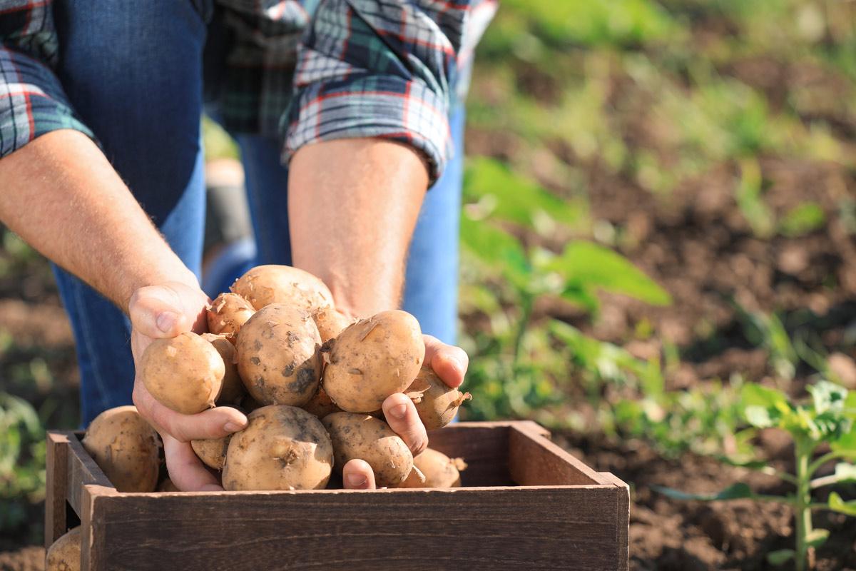 Pommes de terre biologiques à chair tendre, ferme ou polyvalente