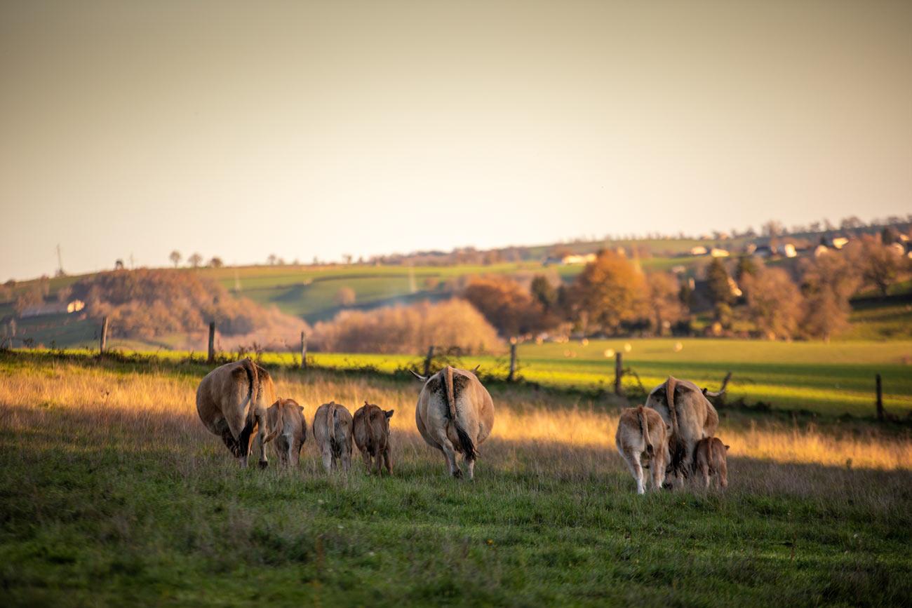 Élevage de vaches de race Aubrac à la ferme biologique de Planesty